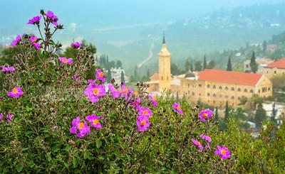 Rock rose bush on a hill in Ein Karem