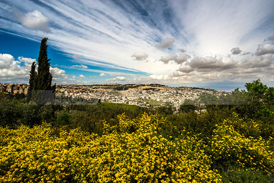 Yellow flowers with clouds over Jerusalem and the Mount of Olives in the background