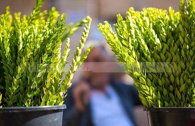Hadas (myrtle) leafy branches of the Four Species for sale - Sukkot preparations in Mea Shearim