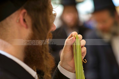 Four Species, Lulav - Sukkot