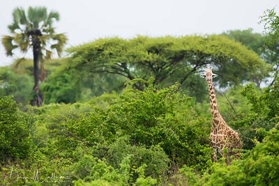 Giraffe in the Green