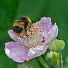 Bombus pratorum, (Early Bumblebee) male.