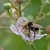 Bombus terrestris, (male)