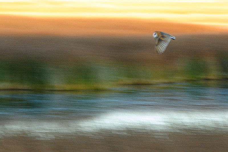 Barn owl over the Ruby Marshes