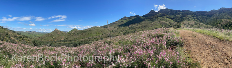 Cat claw blooming panorama