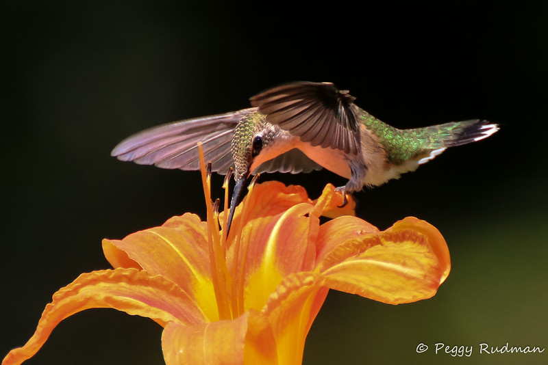 Ruby-throated Hummingbird on Lily