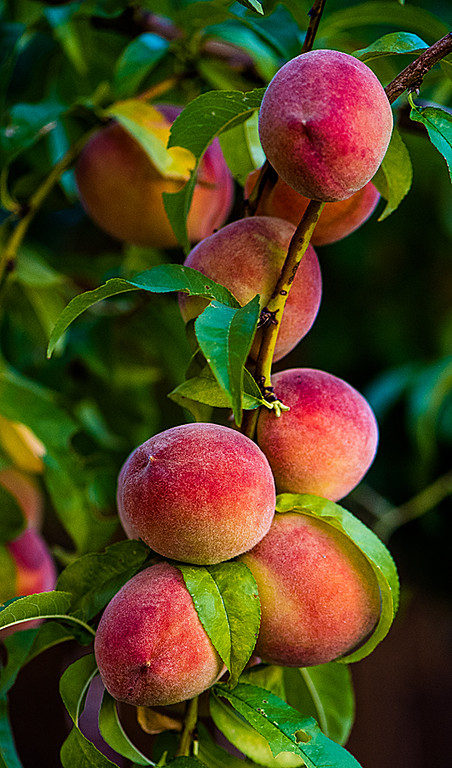 Peach harvest.