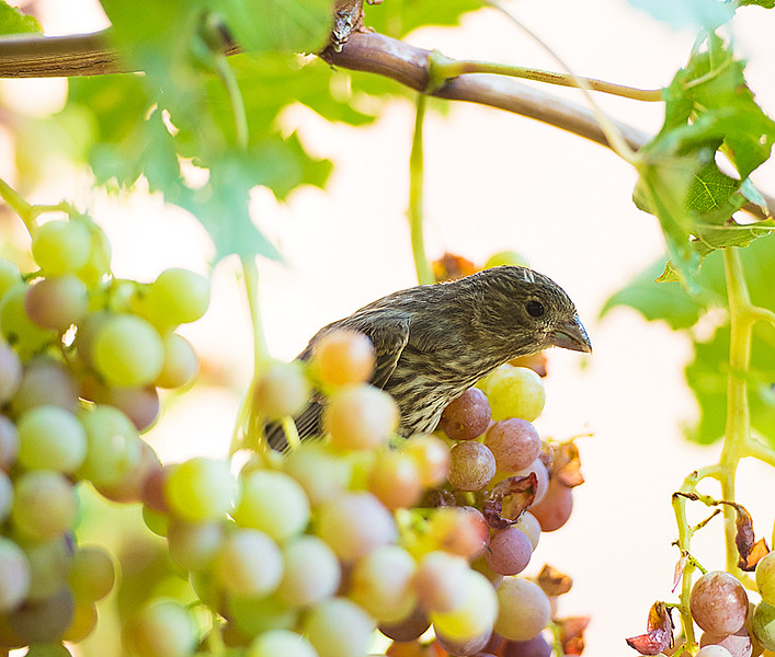 Our grape thief!