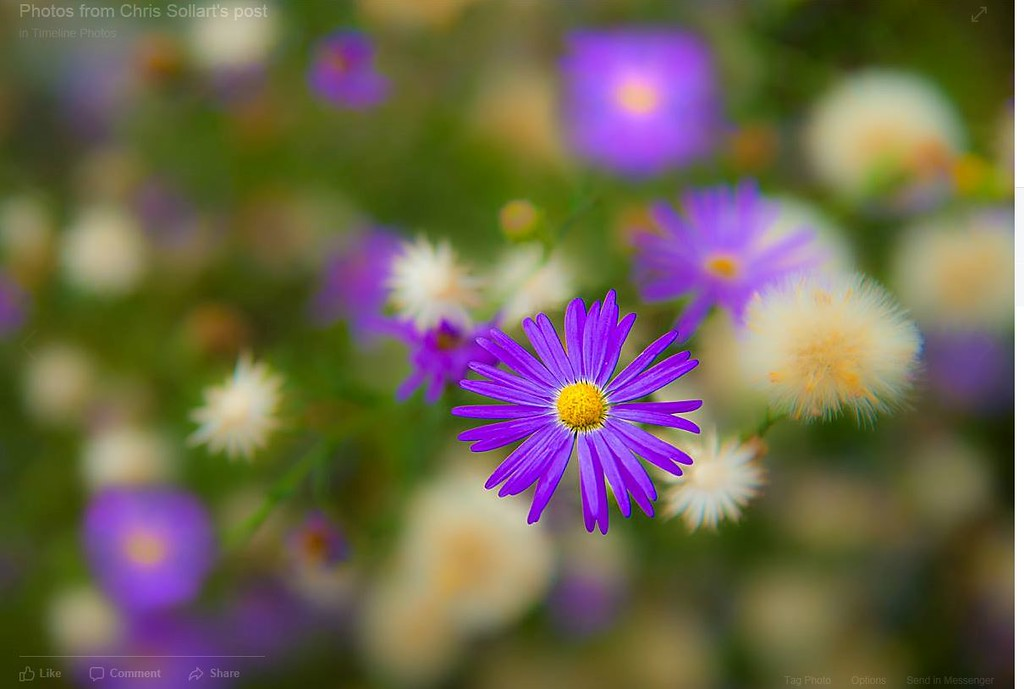 Tiny blue desert daisies