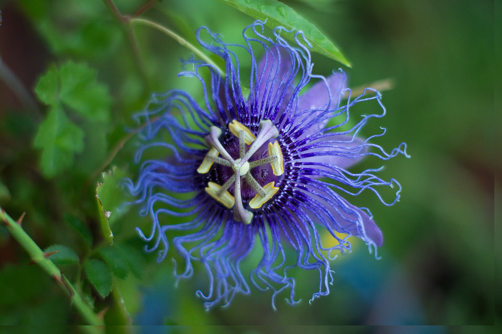 Passion flower.  One of the few non-cacti flowers that grows well here.