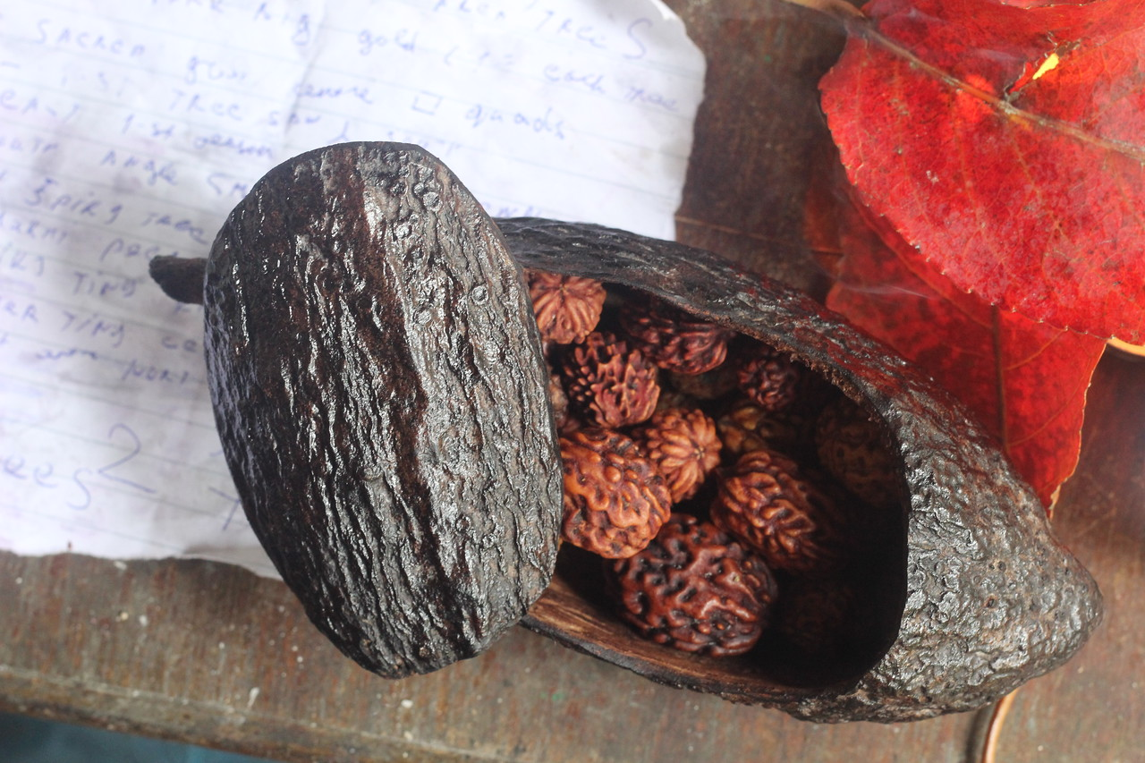 Cacao Pod blessed gift-set - 27 @ 27! 16 trees from all 4 sides, as West Tree found. 3-4-5 - Mukhi