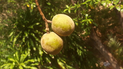 3 and 4 mukhi Rudrakshas in a fruits at same branch