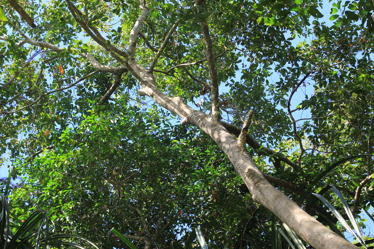 Tree in sacred forest - mini/micro seeds
