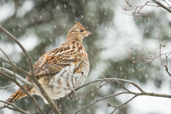 JANUARY | Ruffed Grouse, Tettegouche State Park