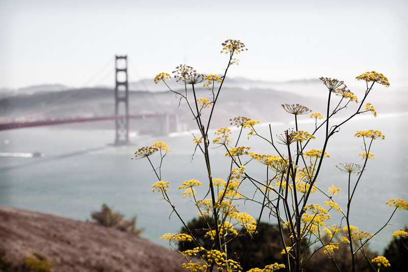 Yellow flowers at the Marin Headlands.