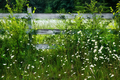 Spring Daisies, Joyce Valley, WA