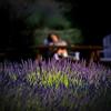 Purple Haze Lavender Farm, Sequim, WA