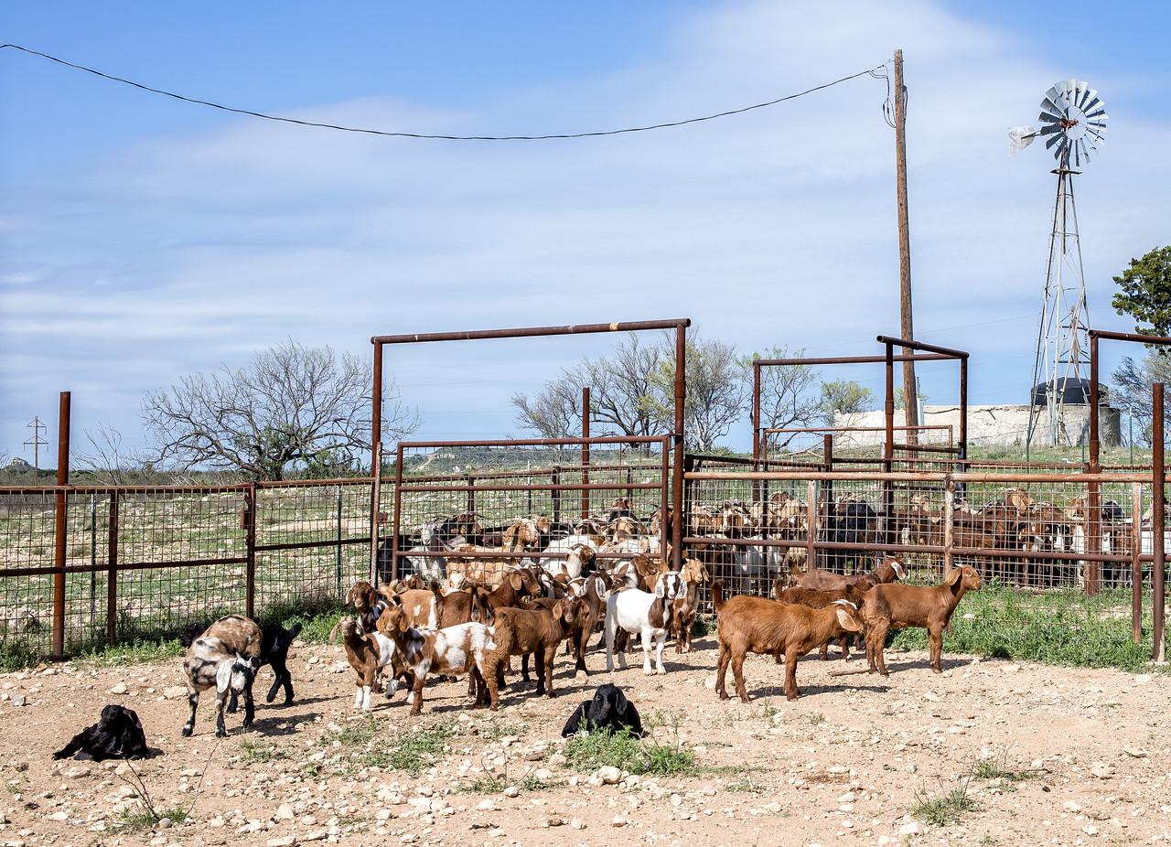 Goat Farm near Llano, Texas