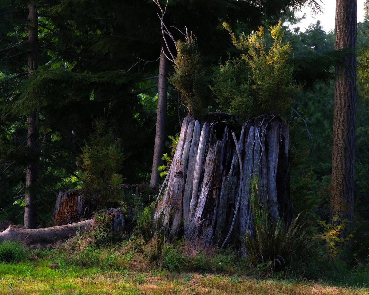 Cedar Stump; Joyce Valley, Washington