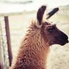 Llama (instagram Style)