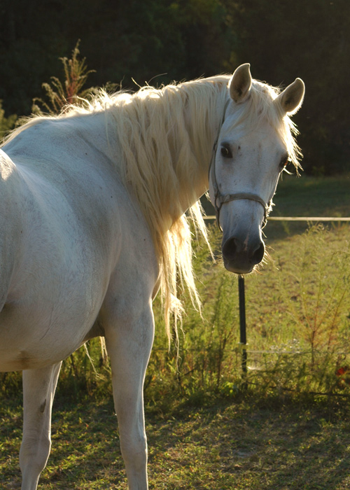 Shellah<br /> Our Egyptian Arabian mare
