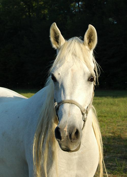 Shellah<br /> Our Egyptian Arabian mare