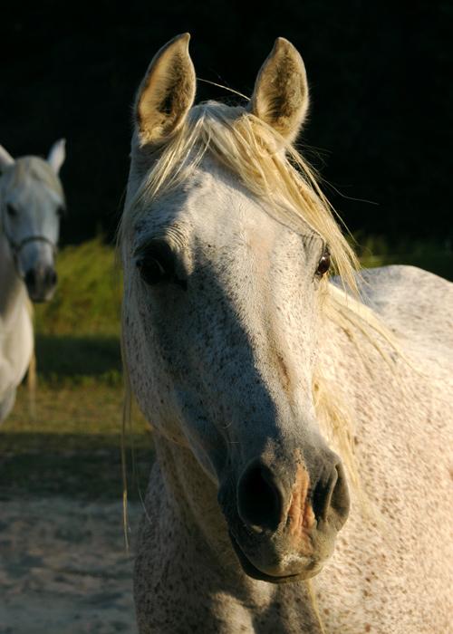 Jehan<br /> Our Egyptian Arabian mare