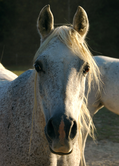 Jehan<br /> Our Egyptian Arabian mare