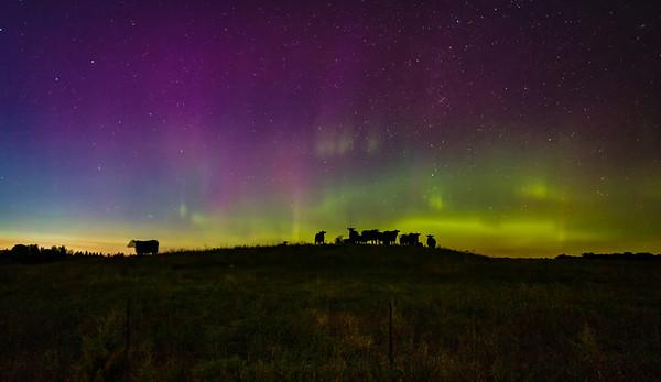 Cows Under the Aurora