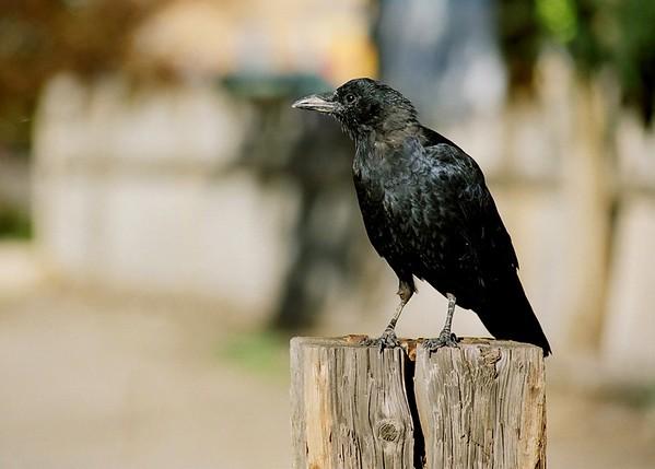 Taos Spirit Guide-Raven.