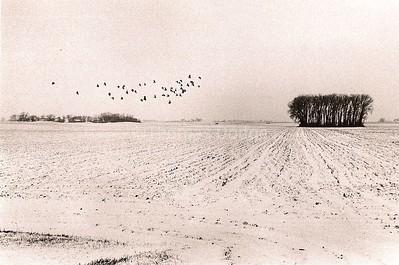 A Flock of Pigeons, Truman, MN, 1982.