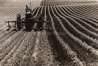 Cultivating Corn, Truman, MN 1982