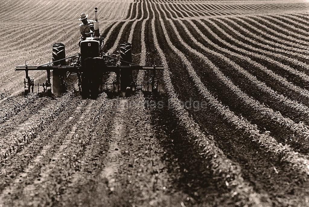 Cultivating Corn, Truman, MN 1982