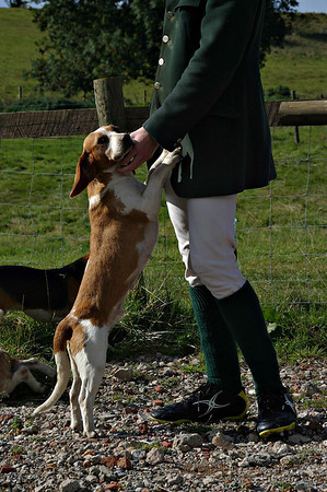 Chilmark Beagles