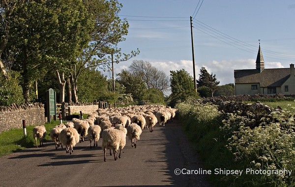 Sheep at Charterhouse