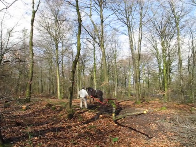 This short clip shows just how quickly William works!  Notice the length of the timber and how it swings around.