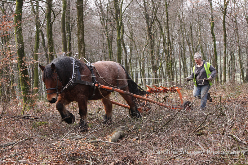 Kate and Kipp, horselogging, going out to collect more timber.