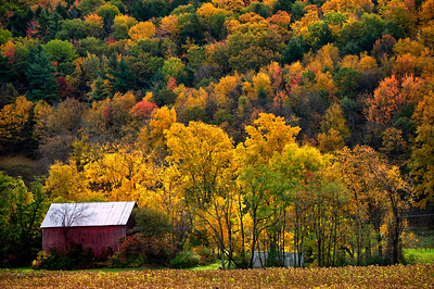 Small barn and Golden Leaves in October.