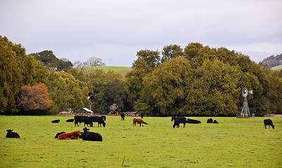 cows-pasture-windmill