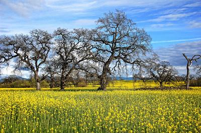 spring-mustard-field-5