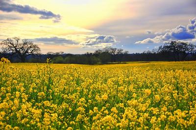 spring-mustard-field-7