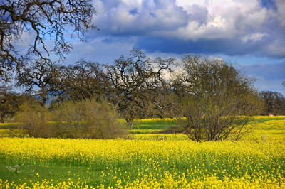 spring-mustard-field-2