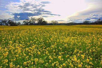 spring-mustard-field-8