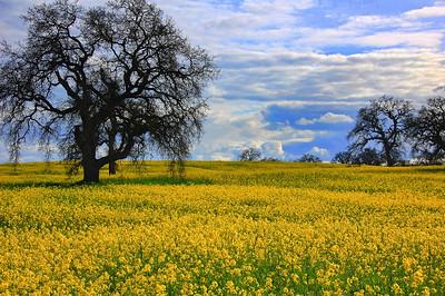 spring-mustard-field-oaks-3