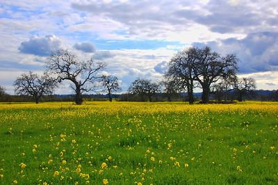 spring-mustard-field
