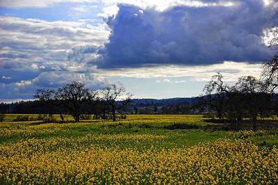spring-mustard-field-4