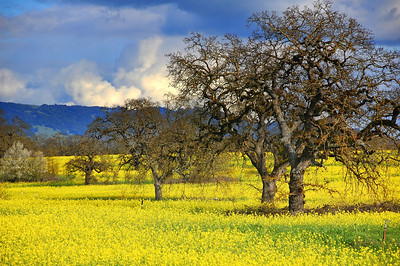 spring-mustard-field-oaks