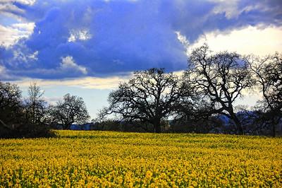 spring-mustard-field-6