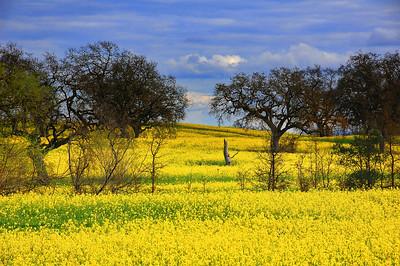 spring-mustard-field-3