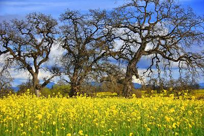 spring-mustard-field-oaks-2